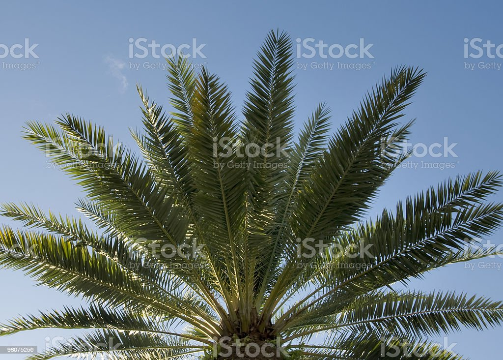 Palm tree with blue sky royalty-free stock photo