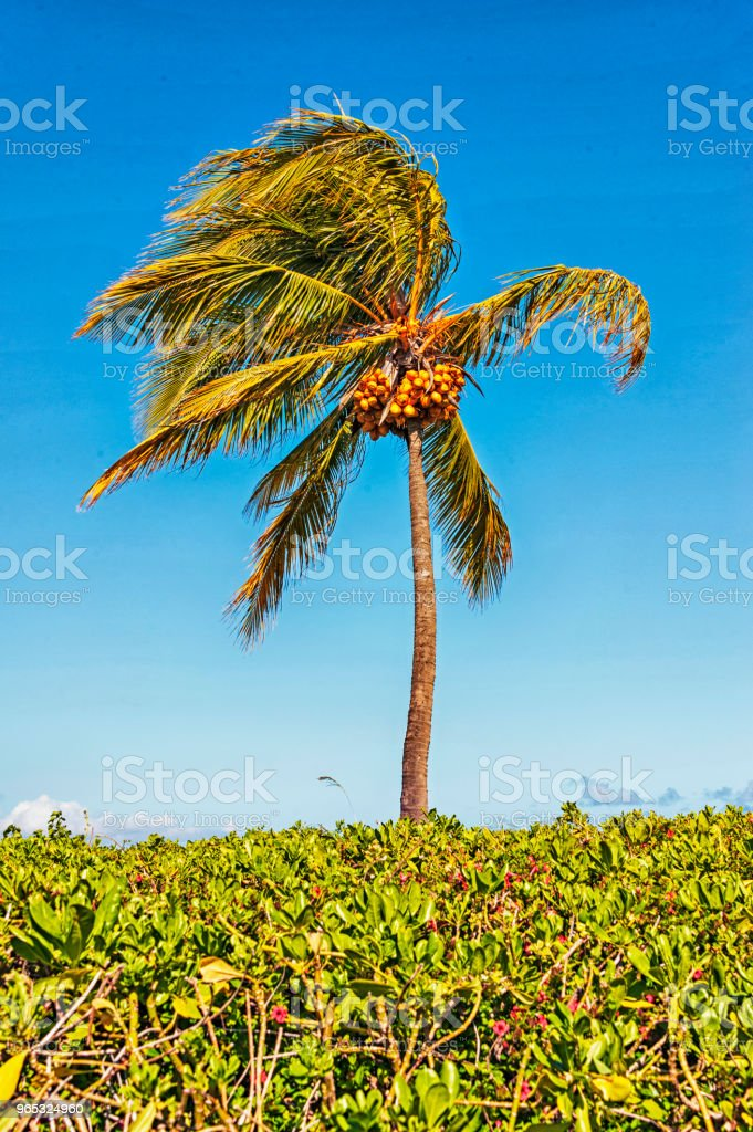 Palm Tree with Coconut royalty-free stock photo