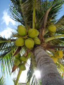 Palm tree with coconuts from below