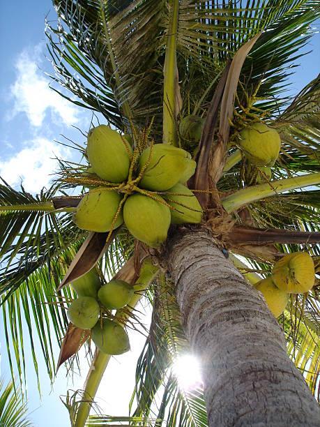palm tree with coconuts from below - fsachs78 stockfoto's en -beelden