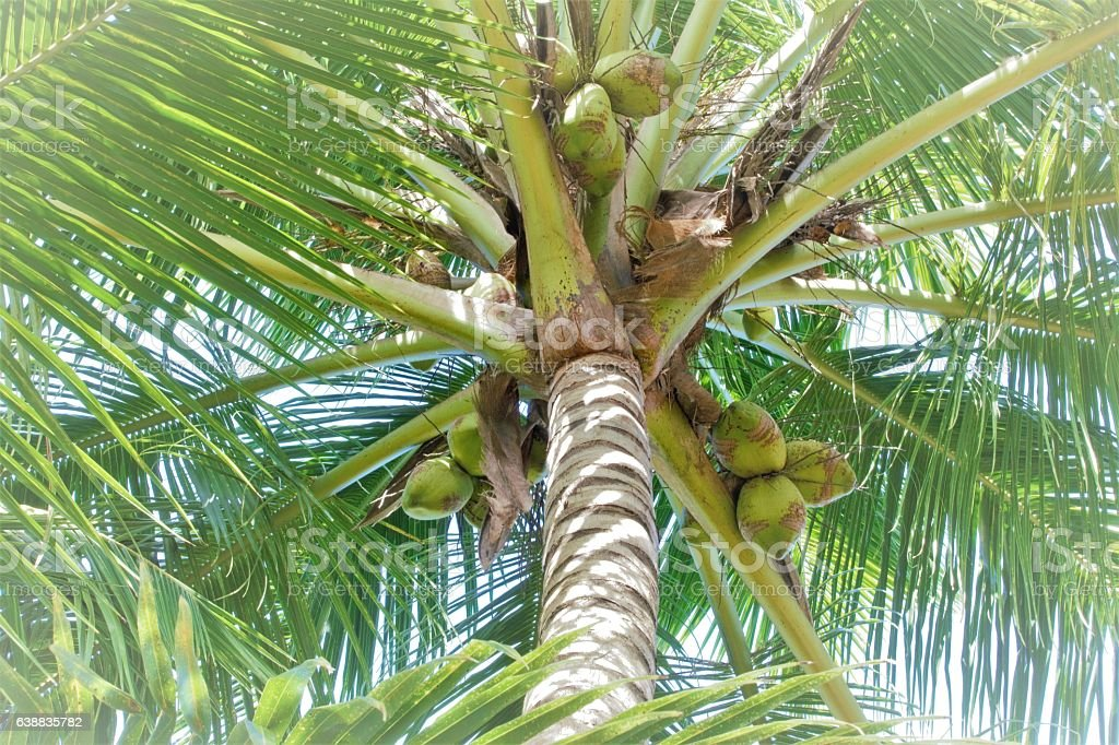 Palm tree with coconuts in diffused light stock photo