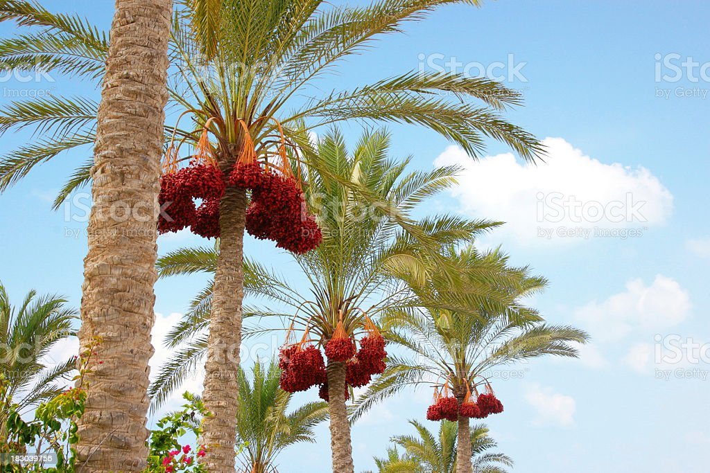 Palm Tree with dates stock photo