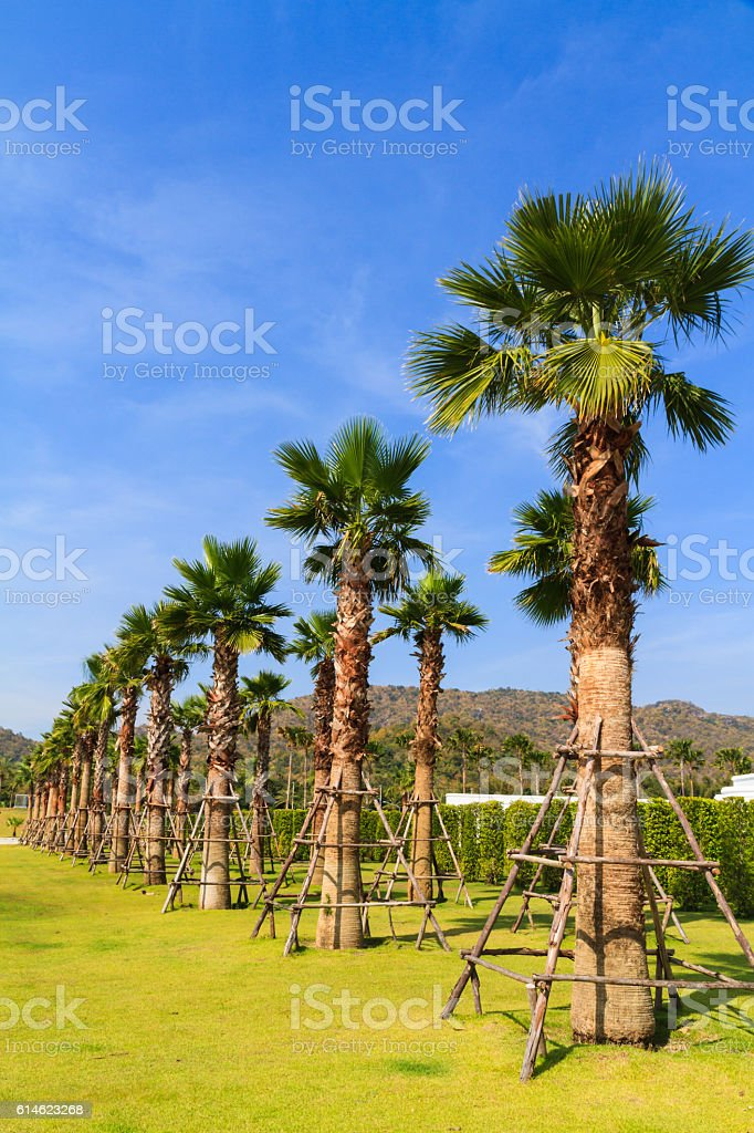 Palm tree with green grass. stock photo