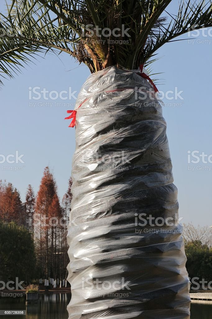 Palm Tree Wrapped in Plastic stock photo