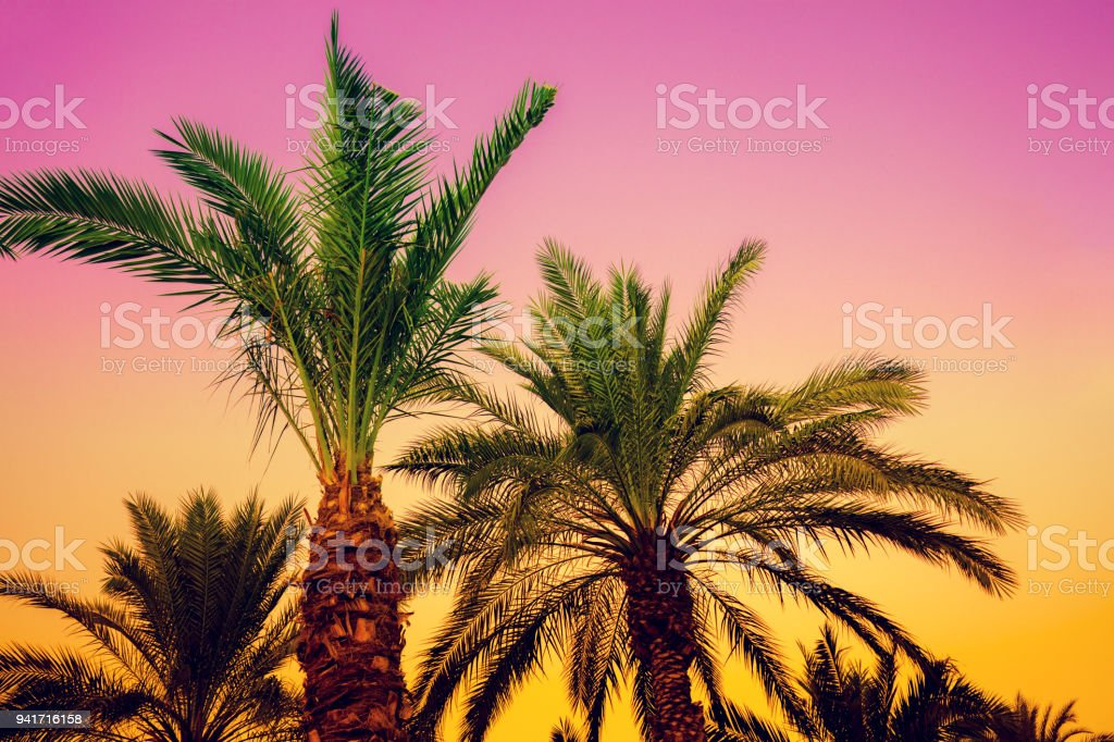 palm trees against the sunset sky pink yellow gradient color