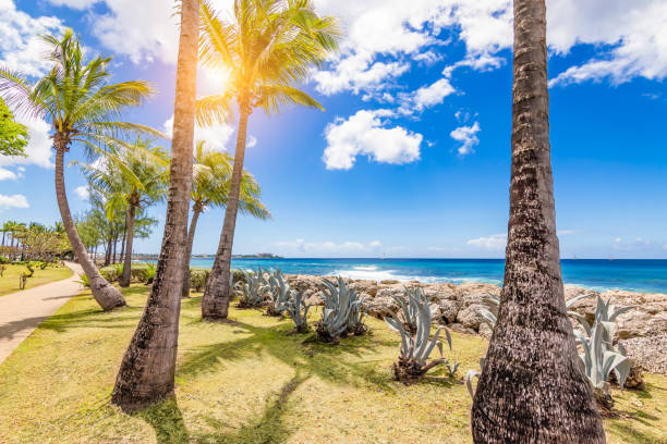 Palm trees along the coastline of Bridgetown, Barbados, Caribbean. stock photo