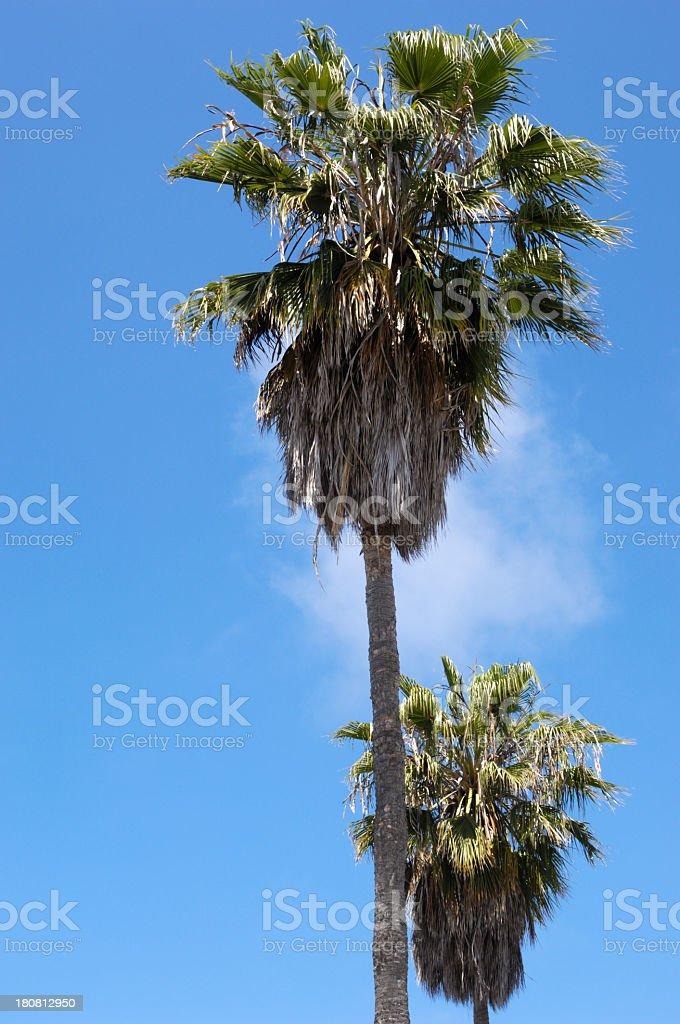 Palm Trees Along Venice Street royalty-free stock photo