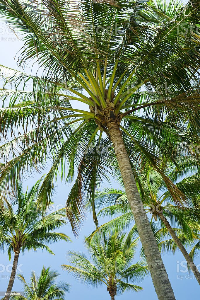 Palm Trees and Blue Sky royalty-free stock photo