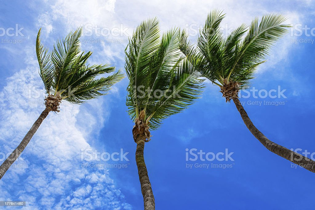 palm trees and the blue sky royalty-free stock photo