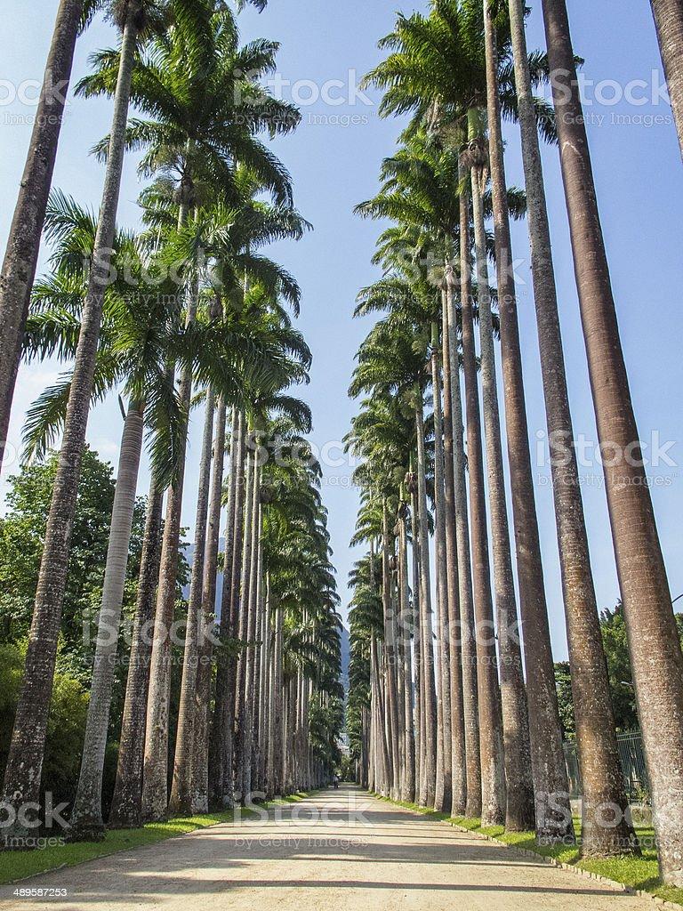 Palm Trees at Jardim Botanico, Rio de Janeiro. stock photo