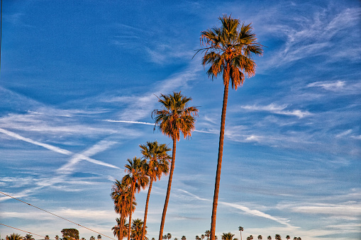 Palm trees at Malibu, California.