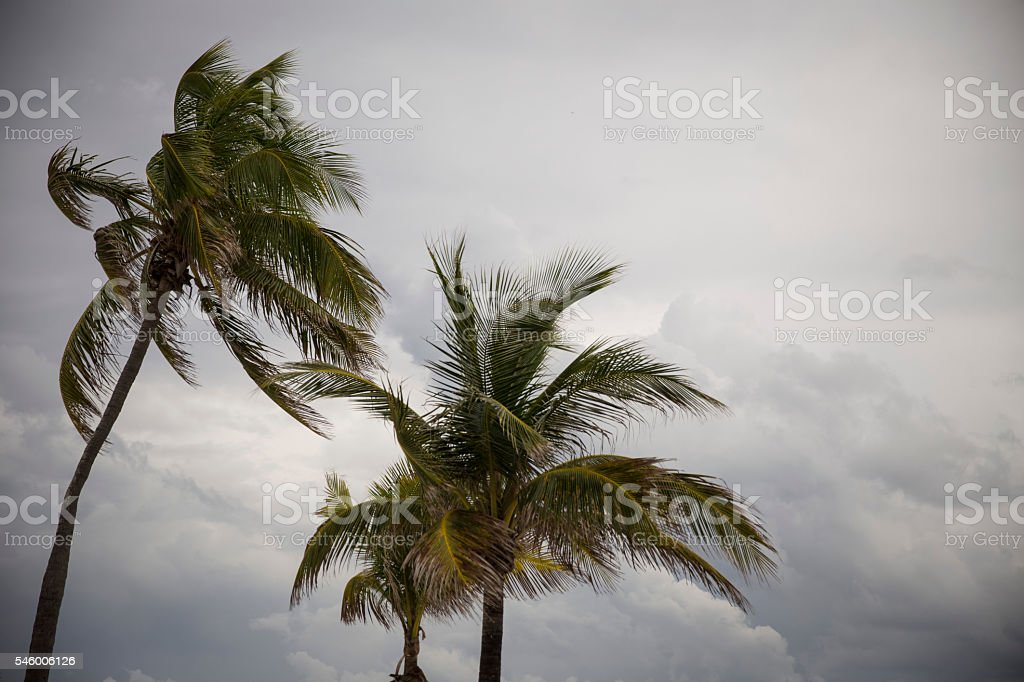 Palm Trees Before a Tropical Storm stock photo