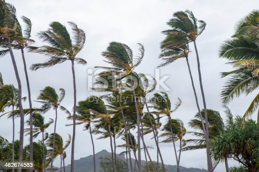 Palm trees blow and sway in the wind during a tropical storm.  rr