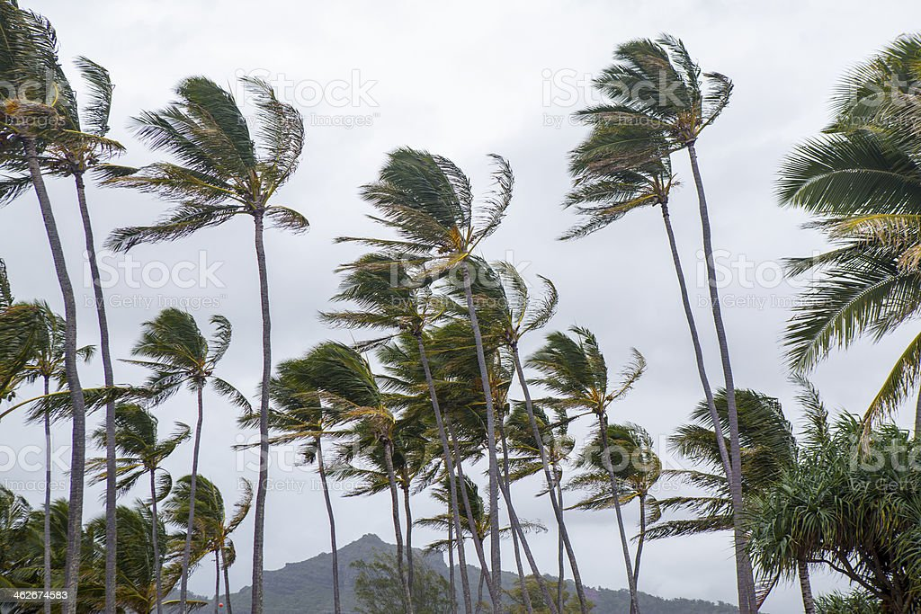 Palm trees blowing in the wind during tropical storm stock photo