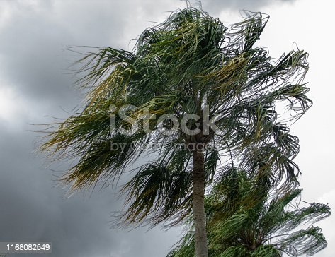 Palm trees blowing in the winds of a thunder storm.
