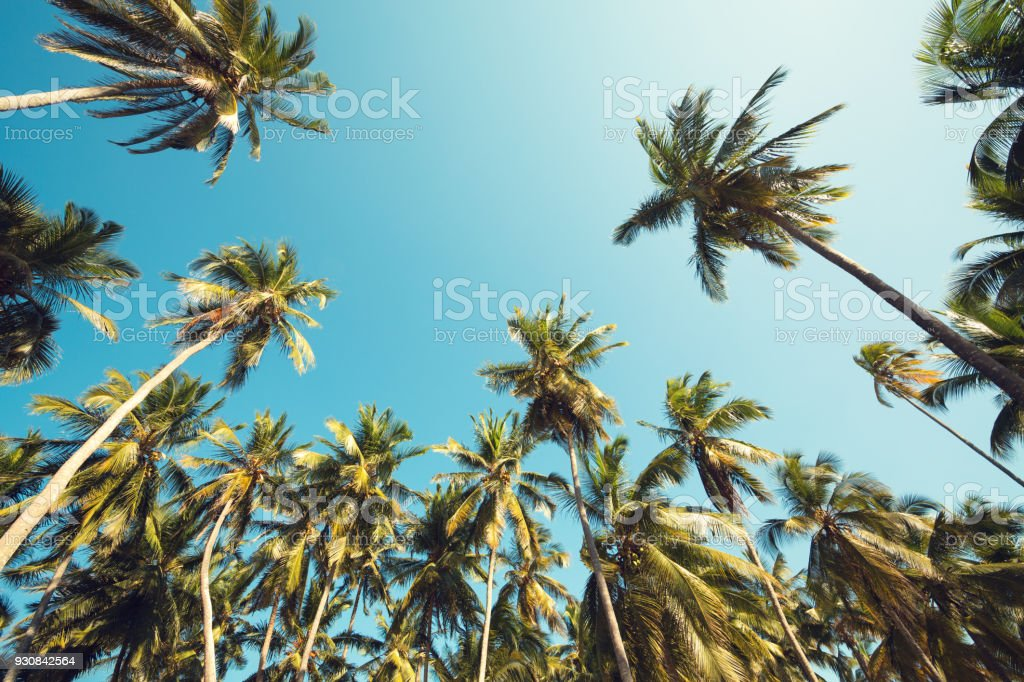 Palm Trees From Below. stock photo