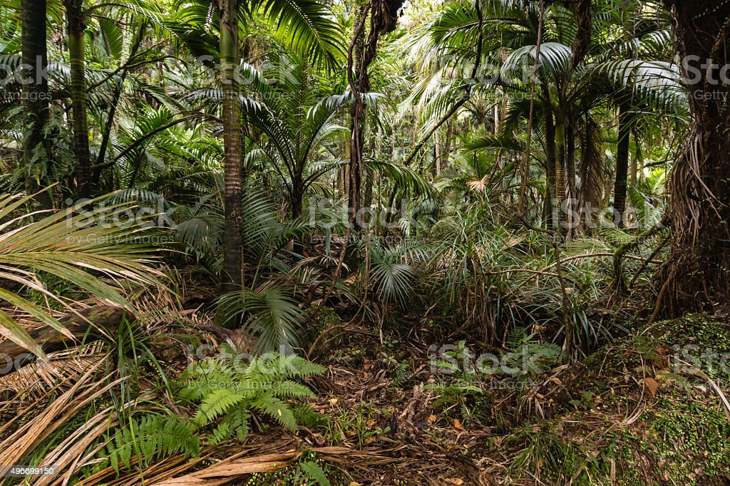 palm trees growing in tropical rainforest stock photo