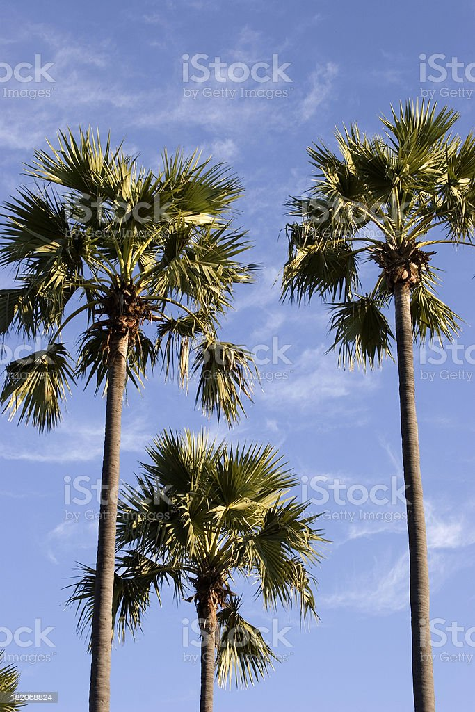 Palm trees II stock photo