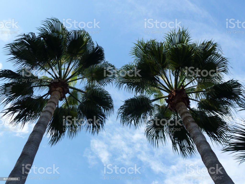 Palm Trees in a Clear Blue Sky stock photo