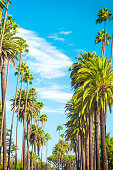 Palm Trees in Beverly Hills, Los Angeles, named Washingtonia robusta (Mexican fan palm)
