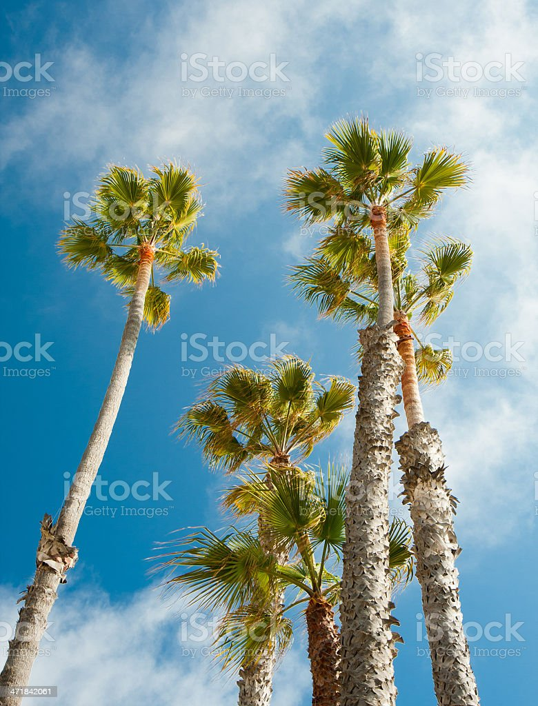 palm trees in blue sky background royalty-free stock photo