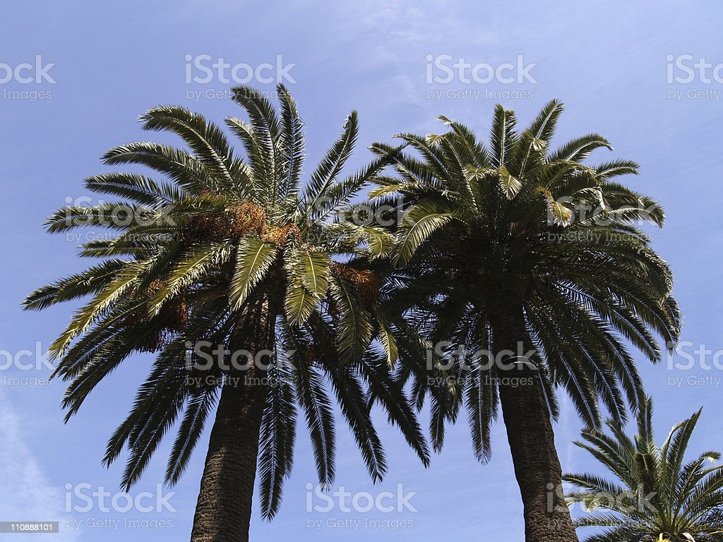 Palm trees in Cannes royalty-free stock photo