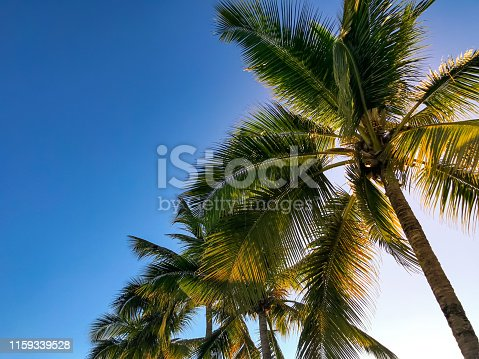 1145102719istockphoto Palm trees in front of blue sky in sunshine 1159339528