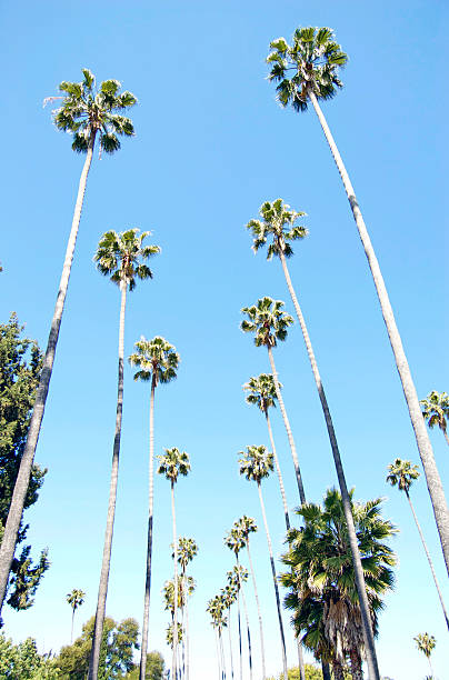 Palm Trees In Hollywood Lower view of palm trees in Hollywood cemetery. sunset boulevard los angeles stock pictures, royalty-free photos & images