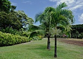 Looking at palm trees growing in the middle of a lawn grass area surrounded by lush foliage of a tropical landscaped garden