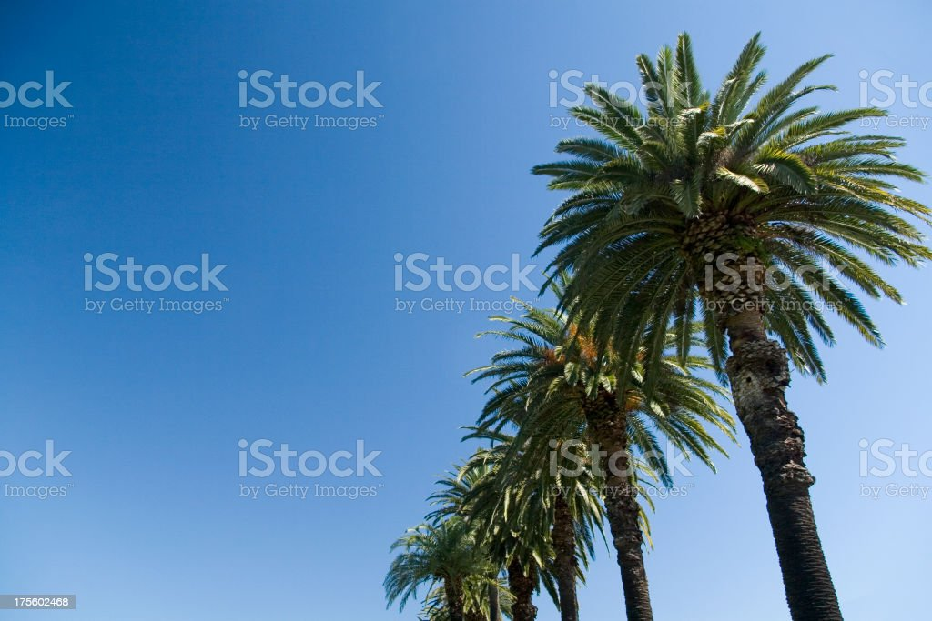 Palm trees in line royalty-free stock photo