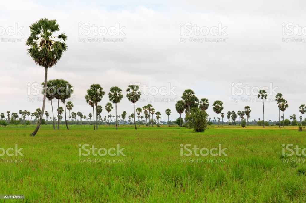 Palm Trees in Paddy Rice Fields under Cloudy Sky stock photo