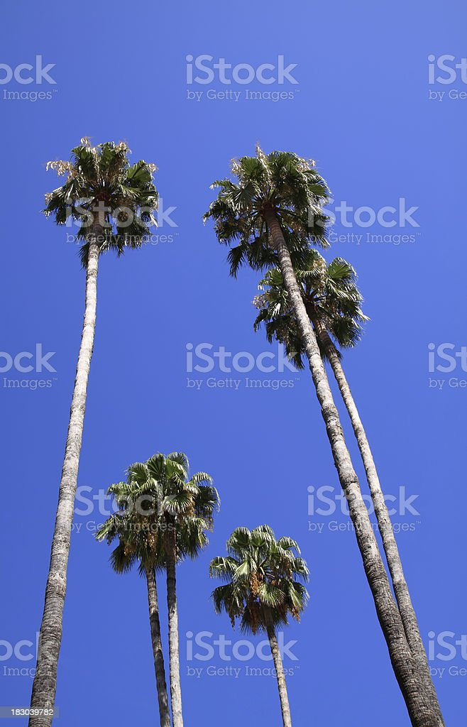 Palm trees in Seville, Spain. royalty-free stock photo