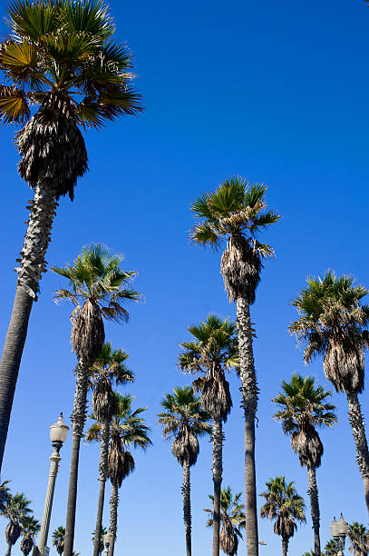 Palm trees in southern california beach town stock photo