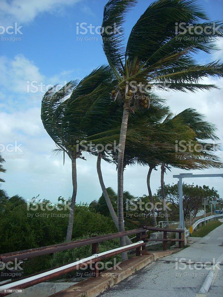 Palm Trees in Storm stock photo
