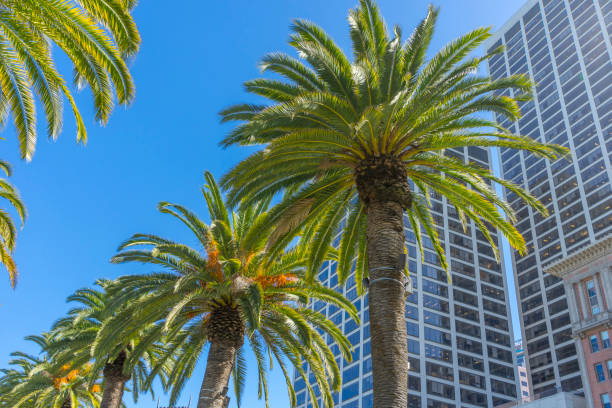Palm trees in the city park in California. Palm trees and sky. Palm trees in the city park in California. redlands california stock pictures, royalty-free photos & images