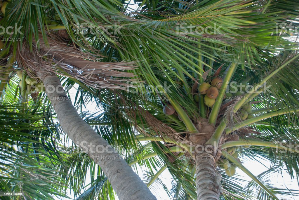 Palm trees in the wind royalty-free stock photo