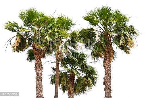 483959606 istock photo Palm trees isolated in white background. 477587202
