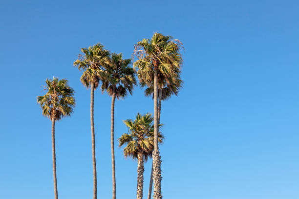 royalty free las vegas palm trees pictures images and stock photos