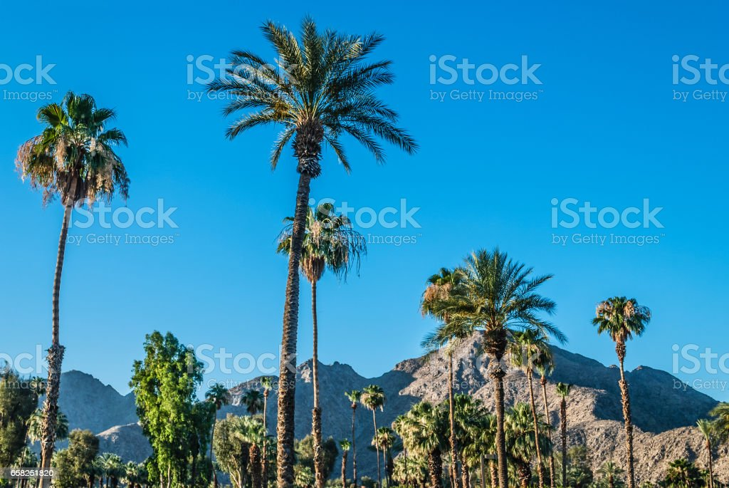 Palm Trees of Palm Springs stock photo