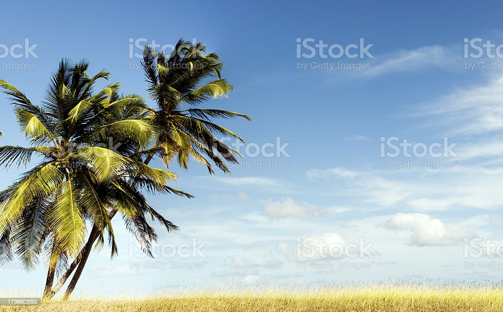 Palm Trees on Blue Sky with Clouds stock photo