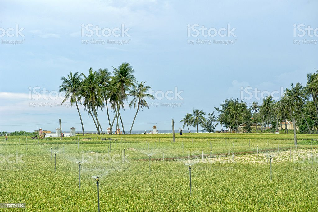 Palm Trees on Lyson Island with onion field stock photo