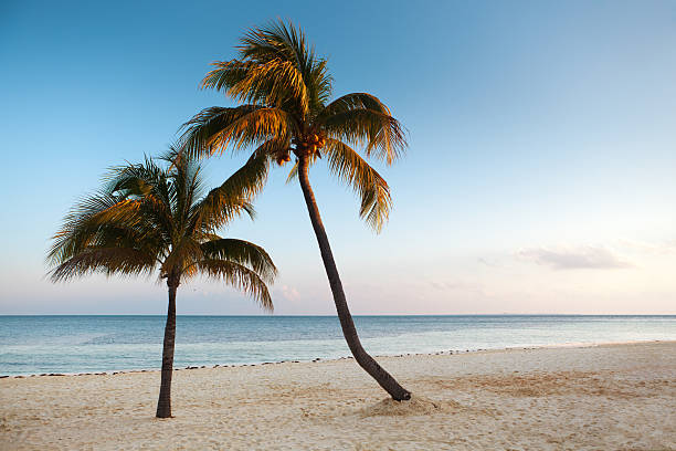 Palm Trees on the Beach of Cancun Rivera Maya Mexico Subject: Horizontal view of Coconut Palm trees on the white sandy beach of the aqua blue Caribbean Sea.  naya rivera stock pictures, royalty-free photos & images