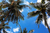 Palm trees over blue sky with white clouds from low angles - summer season and tropical vacation concept.