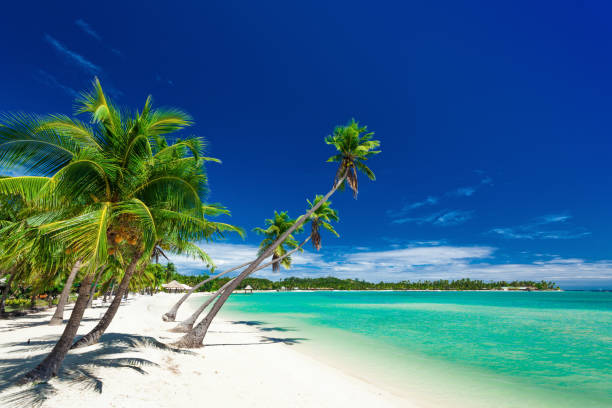 palm trees over white beach on a a plantation island, fiji - fiji stock photos and pictures