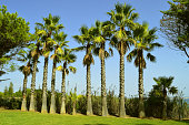 A row of tall palm trees in the Algarve