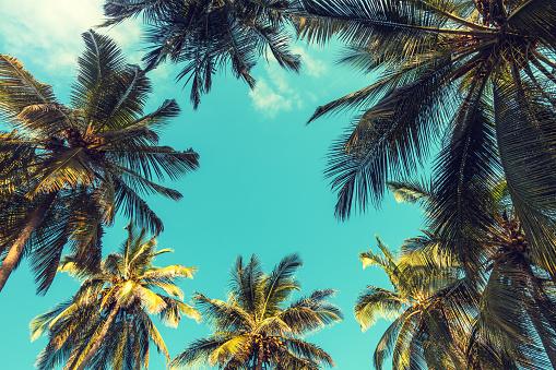 Tropical palm trees on Zanzibar island. View from below.