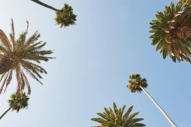 Palmiers arbres  - Photo