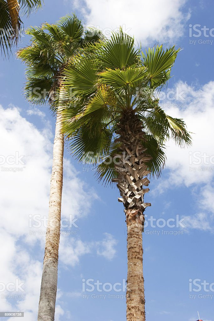 Palm Trees royalty-free stock photo