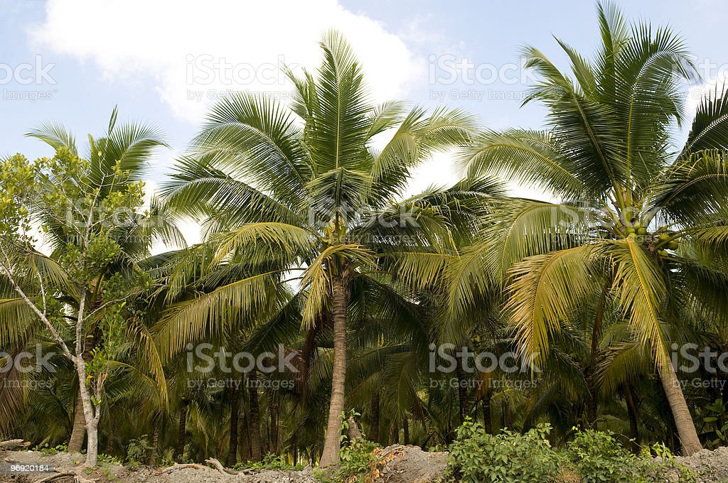 Palm trees. royalty-free stock photo