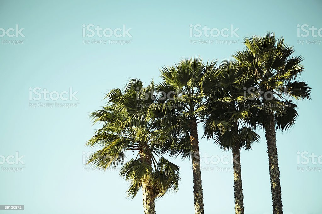 Palm Trees Summer Sky Portrait royalty-free stock photo